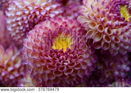 Bouquet Of Dahlia Flowers With Pink Petals And Yellow Stamens. Delicate Shape Floral Petal Texture.