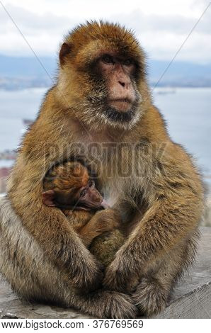 Mother Monkey Holding Cute Ape Baby With Brown Fluffy Fur. Macaque Family In Wild Nature. Two Primat