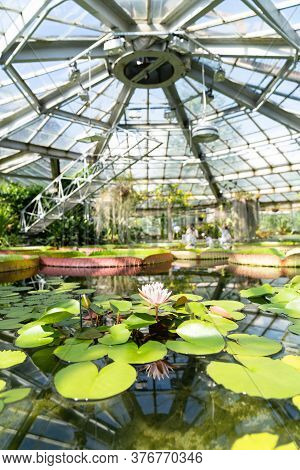 Tropical Aquatic Plants - Giant Water Lily, Nenuphar, Amazonian Victoria Floating In  Greenhouse.
