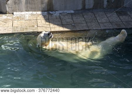 Russia, The City Of Novosibirsk, The Zoo On June 16, 2014. A Polar Bear Swims In The Water. The Conc