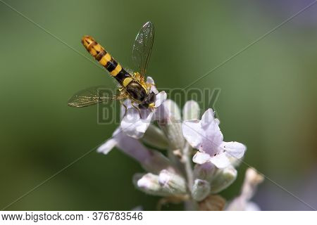 A Marmalade Hoverfly (episyrphus Balteatus) Sits On A Flower And Sucks Nectar