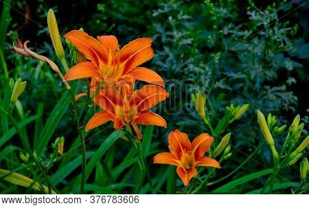 A Beautiful Buds Of An Orange Daylily Flowers On Dark Green Background Hemerocallis Copy Space