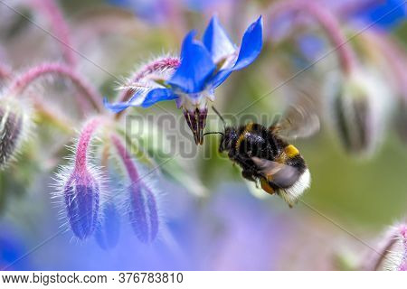 Bumblebee Collecting And Suck Nectar On Flowers