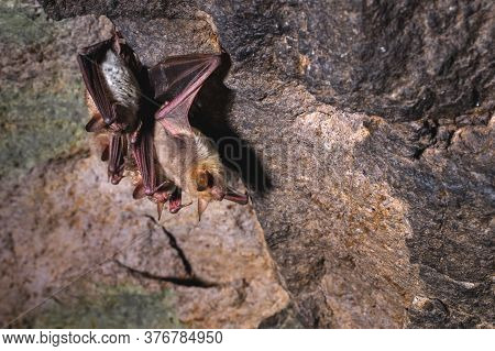 A Group Of Brown Bats Sleeps On The Ceiling Of A Rock Cave. Wild Little Bats Of The North Caucasus