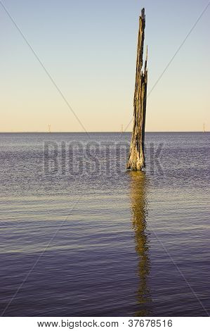 Decaying Bald Cypress Tree in a Lake