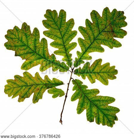 Oak Branch With Withering Leaves Isolated On White.