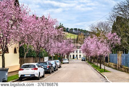 Sakura Cherry Blossom In Barr - Bas-rhin, France