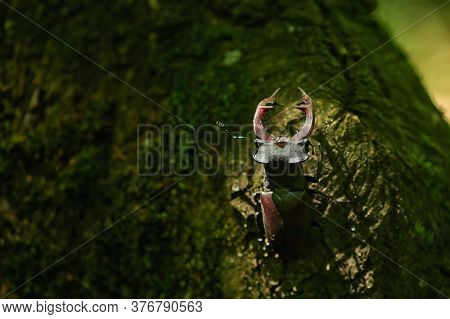 Stag Beetle Lucanus Cervus Male In Macin Mountains Romania