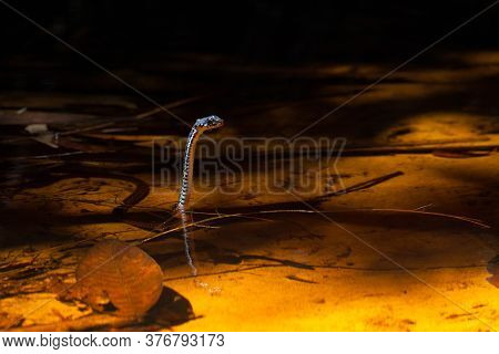 Small Snake In Water At Tropical Forest In Borneo