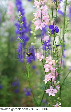 Beautiful Plants Larkspur And A Bee - Blue Flowers In The Garden