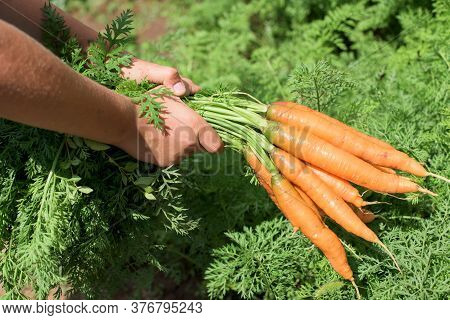 Close-up Of Carrots Bunch With Crop Part Body.the Child Is Picking And Holding Carrots, Hands And Ca