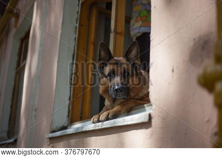 Sheepdog Looks Out Of The Window. The Animal Wants To Walk. The Dog Climbed Onto The Windowsill Out