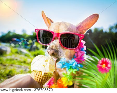 Chihuahua  Dog On   Summer Vacation Holidays In The City And The Beach And River   Eating And Lickin