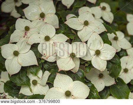 Closeup Of The White Flowers On A Cornus Kousa Dogwood Shrub