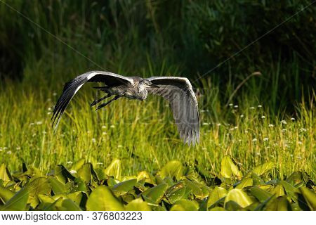 Grey Heron Flying Over The Wetland In Summer Nature.