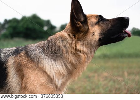 Portrait Of A German Shepherd. The Sheepdog Stuck Out Its Tongue. Dog Walks In Nature. Black And Red