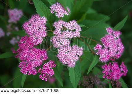 Flowers Spirea Pink White Against Green Leaves In The Rays Of The Setting Sun. Selective Focus. Natu