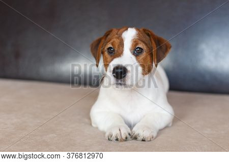 Puppy Jack Russell Terrier Is Lying On The Couch And Looking At The Camera.