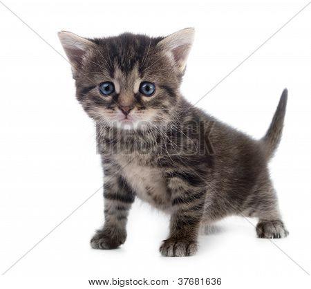 Tabby Kitten Isolated