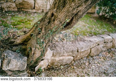 The Trunk Of The Olive Tree Grows From Stones In The Olive Grove Diagonally.