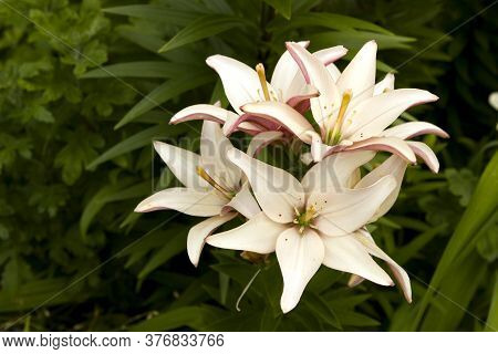 Delicate Pink White Cream Lilies On A Flowerbed In The Garden.