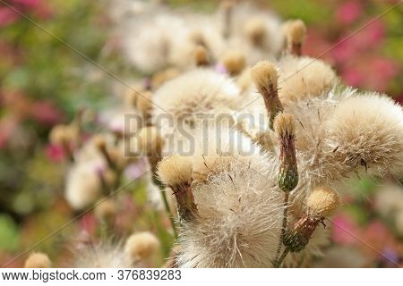 Fluff Of A Flowering Plant Full Of Seeds.