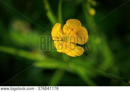 Yellow Flower Close Up In Summer. Ranunculus Acris.