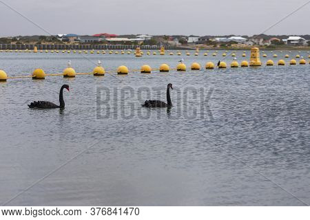 Black Swans Paddling In A Large Estuary Near The Mouth Of The River Murray In Regional Australia