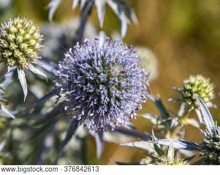 Macro Photo Of A Blue Thorny Field Plant. Background Image. Place For Your Text. Advertising Photo.