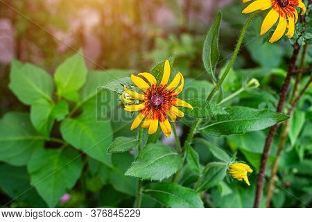 Bright Yellow And Orange Black-eyed Susan (rudbeckia Hirta) Flowers Blossom In The Meadow On Grass F
