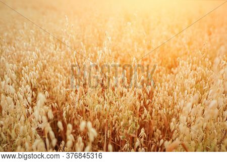 A Field Of Ripe Oats In The Sunlight