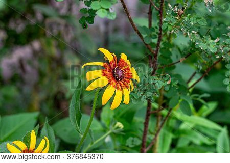 Bright Yellow And Orange Black-eyed Susan (rudbeckia Hirta) Flower Blossom In The Meadow On Grass Fi