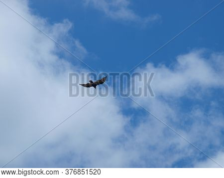 A Turkey Vulture Rides The Thermals Under A Blue Sky With Moisture Laden Clouds.