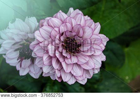 Blooming Pink Dahlia In The Garden. Dahlia Is A Genus Of Bushy, Tuberous, Herbaceous Perennial Plant