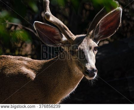Close Up Of A Young Buck With His Velvet Covered Horns In The Morning Light.