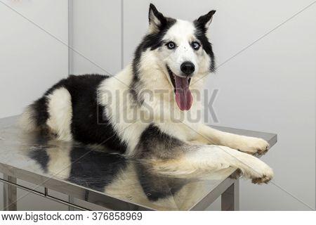 Siberian Husky Lying On The Table At The Veterinary Clinic
