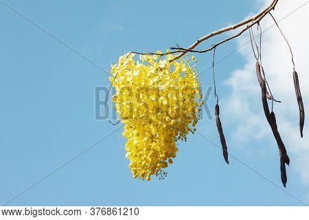 Golden Shower Tree, Cassia Fistula Or Thai People Call Ratchaphruek Bloom On Blue Sky Background.