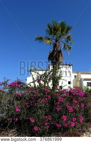 Orihuela, Costa Blanca, Spain - September 21, 2018:flowering Branches Of Bougainvillea On The Costa