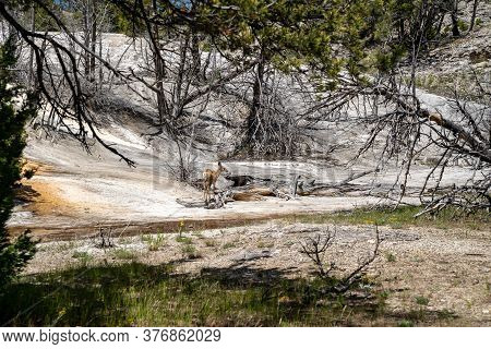 Deer Explores The Mammoth Hot Springs Terraces Area Of Yellowstone National Park