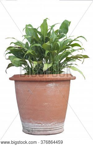 Peace Lily Or Spathiphyllum  In Brown Pot Isolated On White Background With Clipping Path.