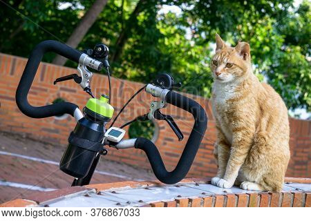 Cuty Chubby Orange Domestic Cat  Sit Near The Bicycle In The Garden.