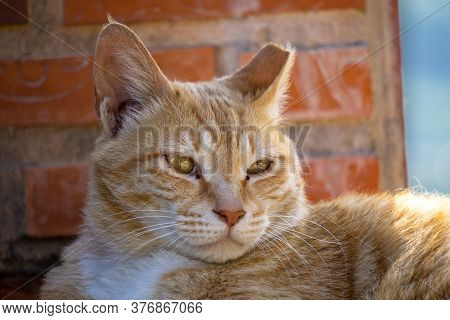 Close Up Of Cuty Chubby Orange Domestic Cat Lies On The Brick Wall.