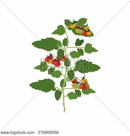 Tomatoes. Vector Illustration. Branch With Tomatoes, Inflorescence And Leaves