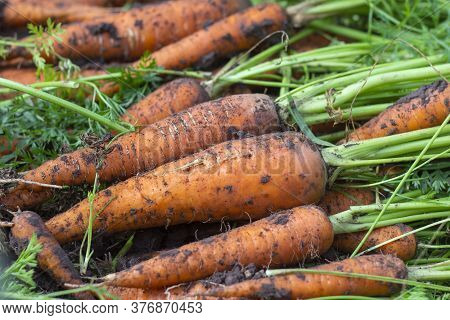 Freshly Dug Carrots With Tops On The Ground. Large Juicy Unwashed Carrots In A Field On The Ground C