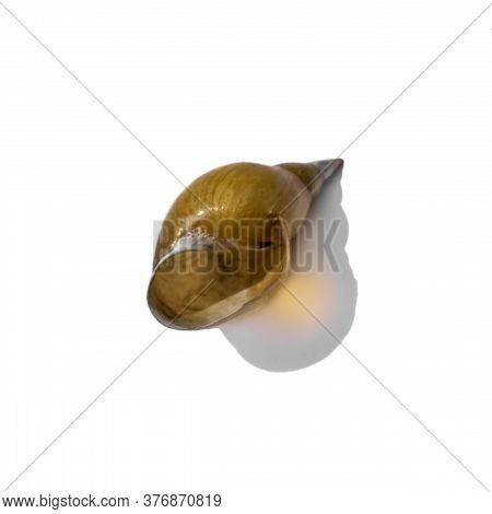 Dry Empty Shell Of Freshwater Pond Snail Isolated On White Background. Dead Shellfish Closeup
