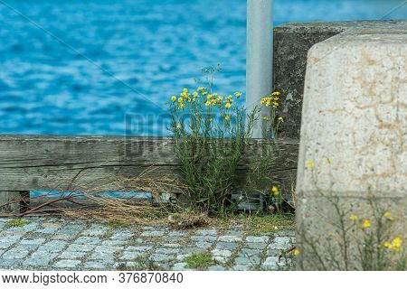 A Closeup Picture Of Yellow Wildflowers. Blurry Green And Blue Background. Picture From Scania, Sout