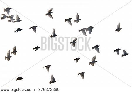 Flying Pigeons. Flock, Flight Of Birds. Free Birds Isolated On A White Background
