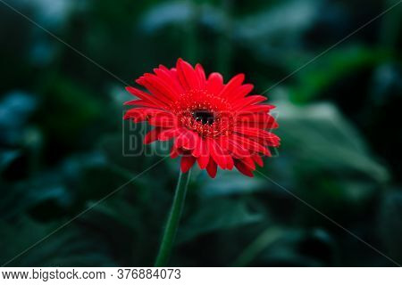 Beautiful Red Gerbera Flower On Green Nature Background. Floral Photography