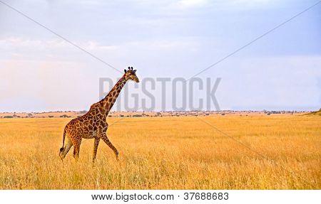Single Giraffe Walking In The Serengeti National Park
