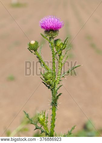 Spiny Plumeless Thistle With Purple Flower, Carduus Acanthoides